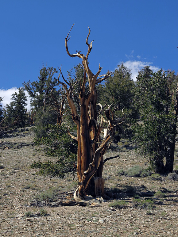 Ancient Bristlecone Pine tree in the Ancient Bristlecone Pine Forest, south of Bishop, California, U.S. Department of Agriculture Forest Service. | Photo: by Tyler Stallings.