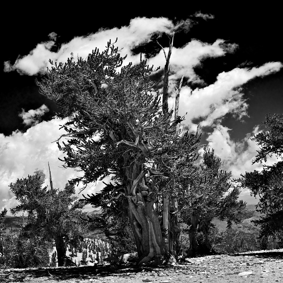 """""""Trees with Striped Clouds."""" Ancient Bristlecone Pine Forest, CA. 2009.   Photo: Osceola Refetoff."""