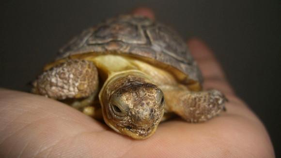 Desert_Tortoise_1.jpg