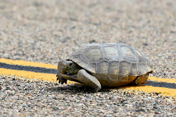 Desert tortoise crossing a paved road. | Photo: Courtesy David Lamfrom.