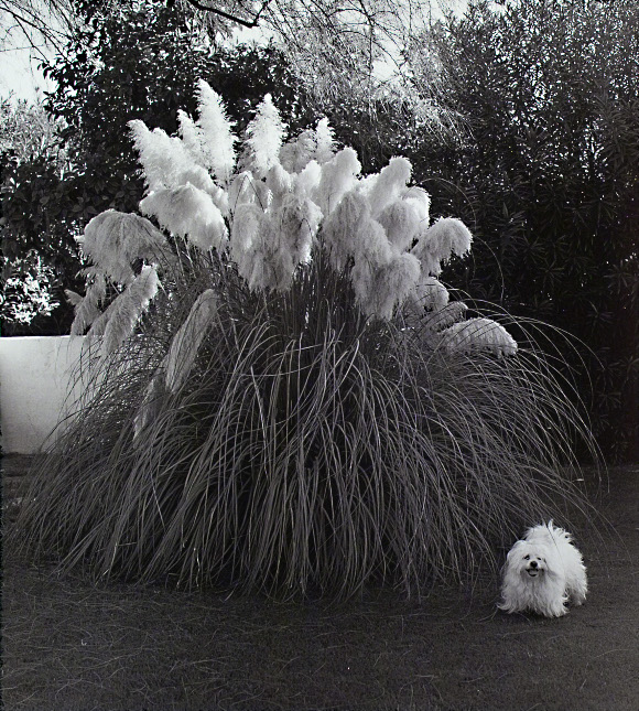 Don Normark, <em>Pampas Grass and Matching Dog</em>, Phoenix, Arizona, 1974. Gelatin silver print, ed. 2/25. Santa Barbara Museum of Art, Museum purchase with funds provided by Eric Skipsey.