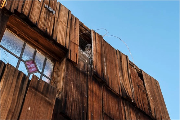 A Prairie falcon nestling in one Purifoy's assemblages. | Photo: Kim Stringfellow.