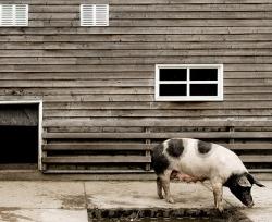 pork1-thumb-250x204-65964