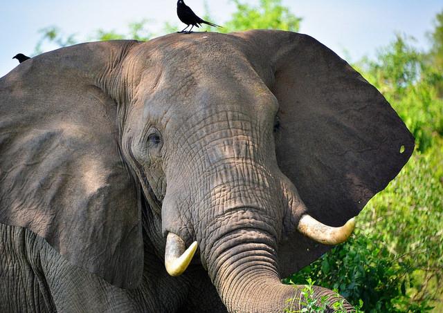 The Myths of Medicinal Ivory | KCET