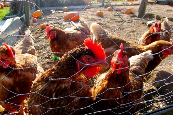chickenfarm1