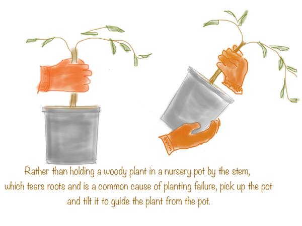 KCET-planting-illo2