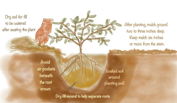 KCET-planting-illo3