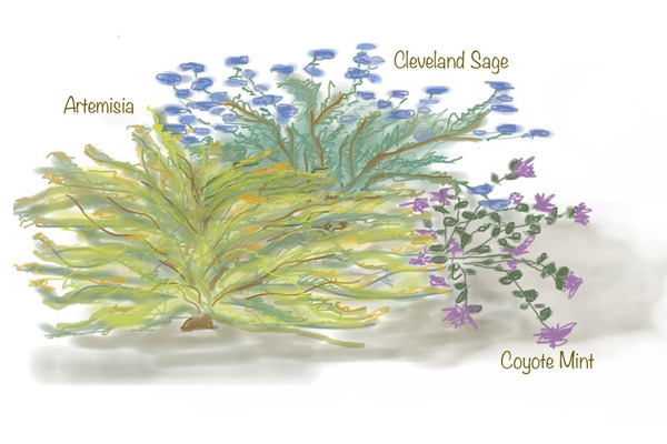 Really tough, beautiful low-water natives often come with the added bonus of scent. Clockwise from left, artemisia, Cleveland sage and coyote mint are all highly aromatic native plants that take little water, smell heavenly and support birds and bees.