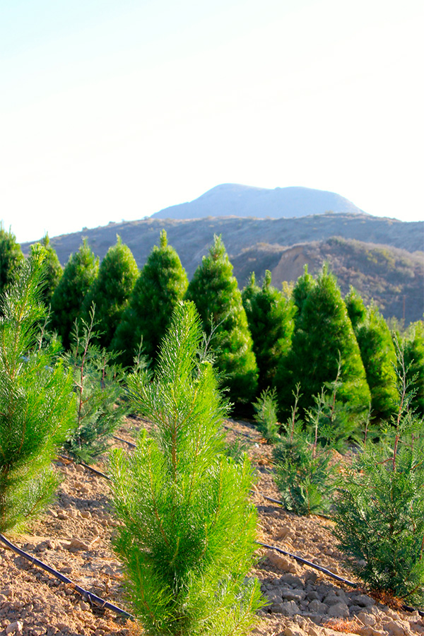 "Christmas tree farm | Photo by <a href=""http://www.peltzerpines.com/"">Peltzer Pines</a>"