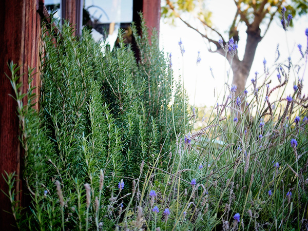 Drought-tolerant rosemary and lavender | Photo by Linda Ly
