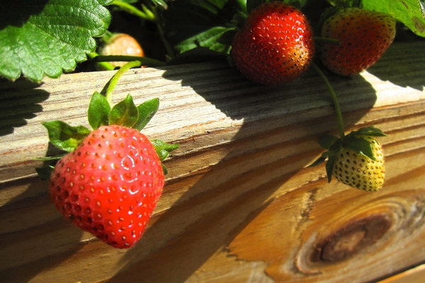 Sometimes just seeing a few strawberries grow is worth it. Photo Credit: Danny Cohen