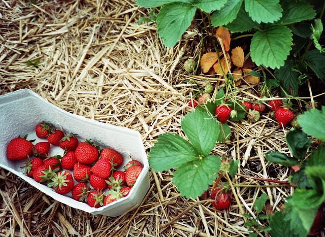 pickingstrawberries