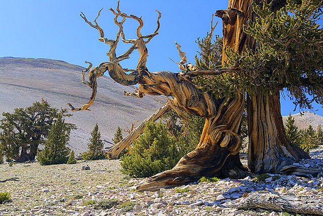 Patriarch-Grove-ancient-bristlecone-pine-forest