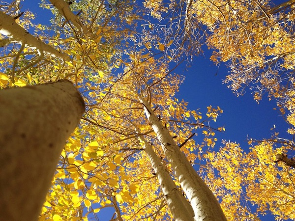Bright yellow aspens along Rock Creek Road in Mono County, October 2013. | Photo: Zach Behrens/KCET
