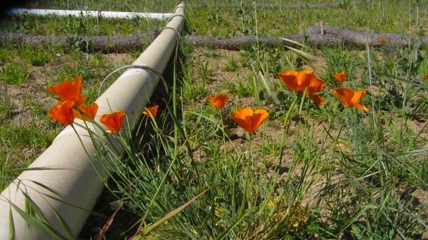 California Poppies seen along the reopened path. | Photo: Zach Behrens/KCET
