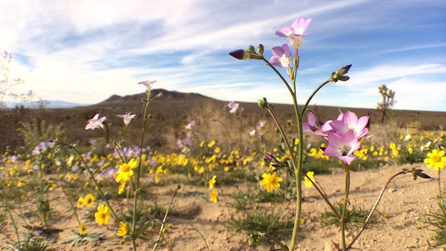 The purple of Davy gilia nicely accents the yellow coreopsis. | Photo: Zach Behrens/KCET