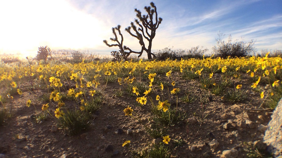 A Joshua tree stands among a field of yellow coreopsis and creosote off the park's unpaved road. | Photo: Zach Behrens/KCET