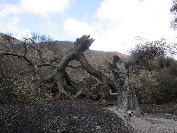 A collapsed live oak seen after the Springs Fire in the Santa Monica Mountains. | Photo: Courtesy National Park Service