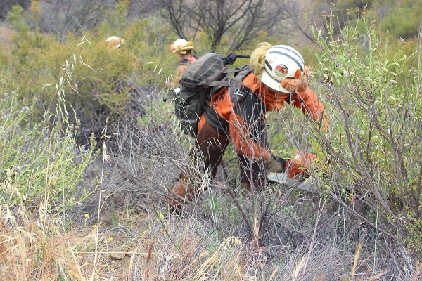 Inmate using chainsaw during brush clearing exercise.