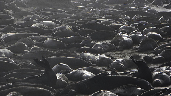 The elephant seal colony at Piedras Blancas has grown significantly since the 1990s. | Photo: Zach Behrens/KCET