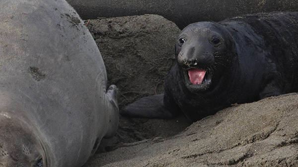 An elephant seal pup squawks. | Photo: Zach Behrens/KCET