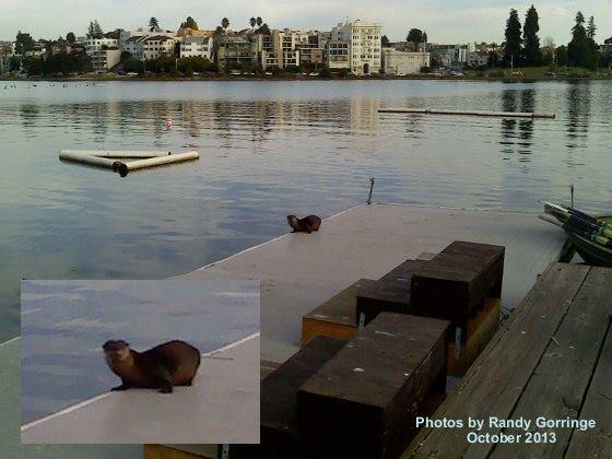 Lake-Merritt-River-Otter-image-thumb-600x450-62630