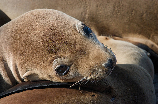 california-sea-lion-pup-10-24-13-thumb-600x397-62480