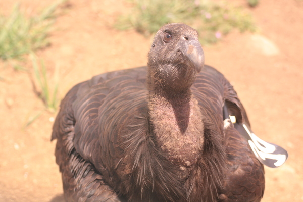 condor-536-closeup-10-23-13-thumb-600x400-62406
