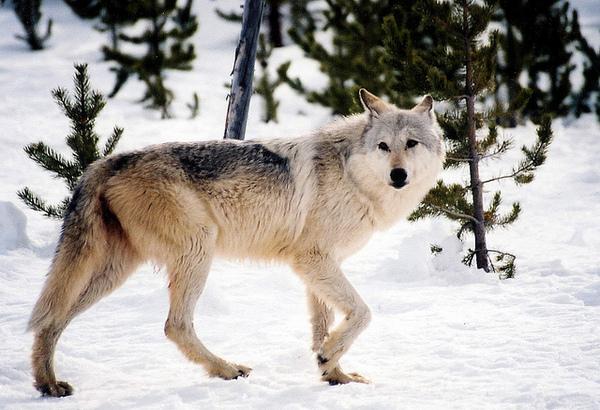 gray-wolf-10-29-13-thumb-600x410-62787