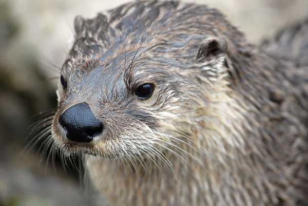 river-otter-closeup-10-25-13-thumb-600x401-62628