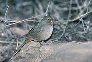 The Inyo California towhee.
