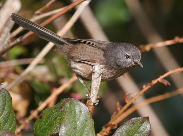 Wrentit_edit-thumb-600x448-63509