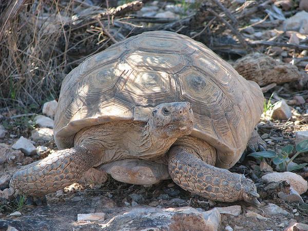 desert-tortoise-11-13-13-thumb-600x450-63782