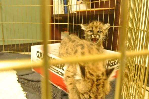 meow-puma-11-25-13-thumb-600x401-64566