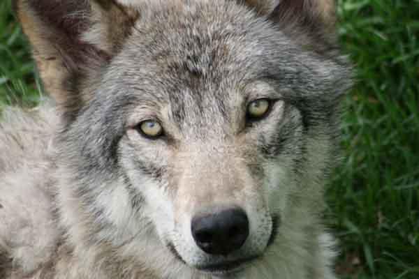 california-gray-wolf-returns-12-11-13-thumb-600x400-65683