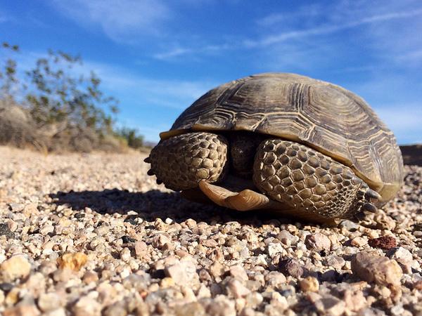 climate-change-threat-to-desert-tortoises-12-13-13-thumb-600x450-65771