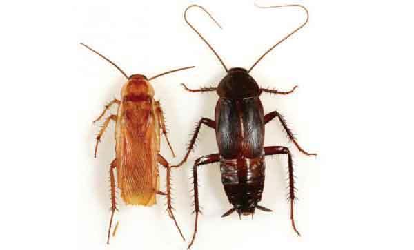 turkestan-cockroach-12-12-13-thumb-600x363-65733