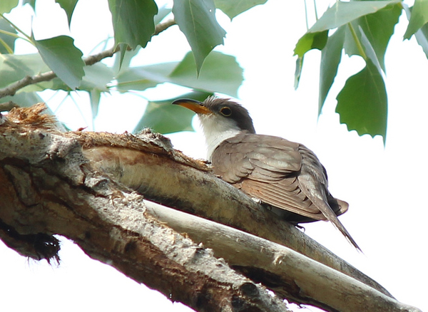 western-yellow-billed-cuckoo-12-6-13-thumb-600x438-65371