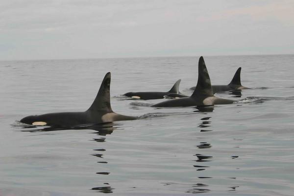 RS9586_Killer_Whales_Orca_NOAA_FPWC-scr-thumb-600x400-67258