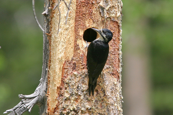 black-backed-woodpecker-1-6-14-thumb-600x400-66493