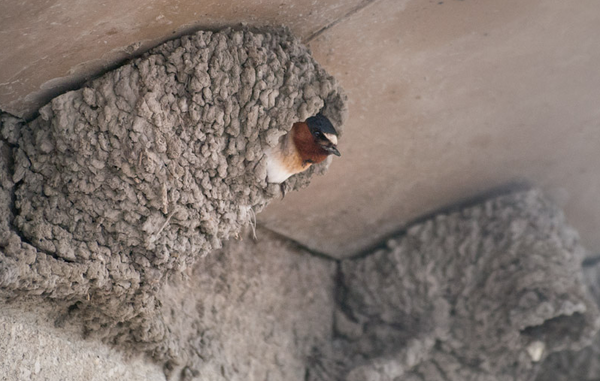 cliff-swallow-1-16-14-thumb-600x381-67072