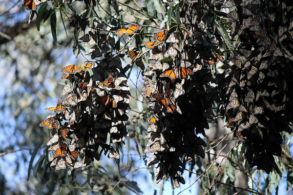 monarch-butterflies-in-trouble-1-30-14-thumb-600x400-67876