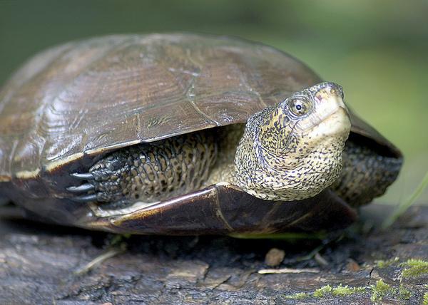 western-pond-turtle-1-7-14-thumb-600x428-66545