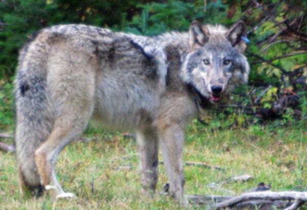 California-wolf-decision-2014-02-06-thumb-600x411-68184