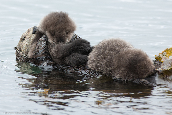 baby-sea-otters-shooting-2-18-14-thumb-600x400-68939