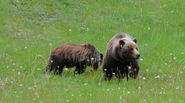 banff-griz-cub-2-19-14-thumb-600x333-69050