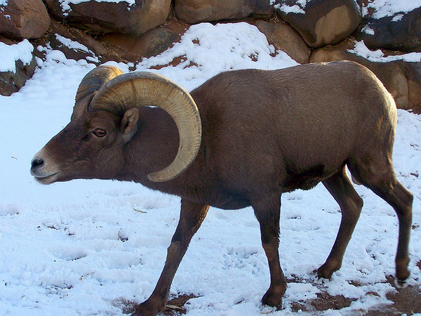 bighorn-sheep-count-2-10-14-thumb-600x450-68432