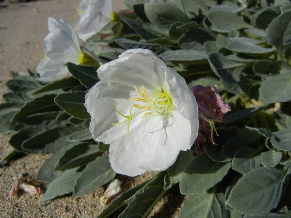 eureka-valley-evening-primrose-2-26-14-thumb-600x450-69473