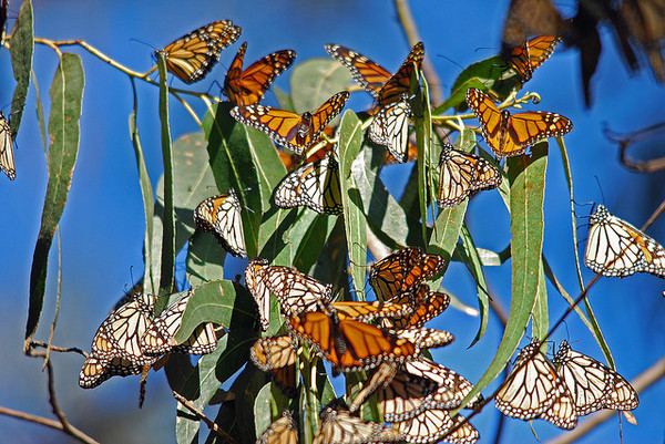 monarch-butterfly-steady-2-4-14-thumb-600x401-68087