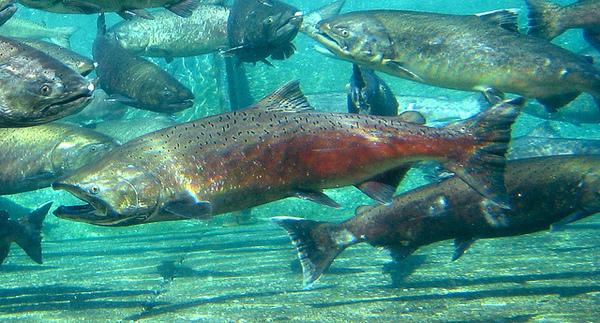saving-chinook-salmon-2-19-14-thumb-600x323-69006